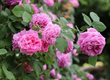 Ktorá ruža bude najkrajšia? Kráľovná kvetov Arboréta Mlyňany ešte nie je známa.
