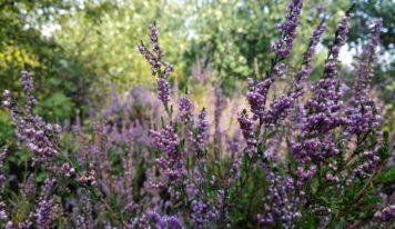 Neďaleko Nitry kvitnú vresoviská. Ružovo-fialové kvety sú krásne i liečivé