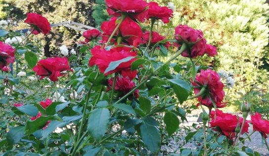 Botanickú záhradu v Nitre skrášli projekt Rozárium (FOTO)