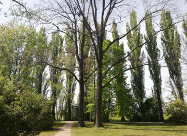 Topoľová alej za mestským parkom mala byť nahradená, zatiaľ sa tak nestalo