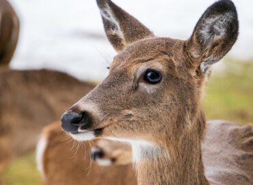 Po zrážke s vlakom uhynuli jelene a gravidné lane: Polícia hľadá svedkov