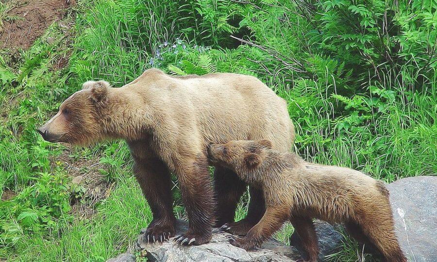 Šurianky vystríhajú obyvateľov a návštevníkov pred stretom s medveďou rodinou